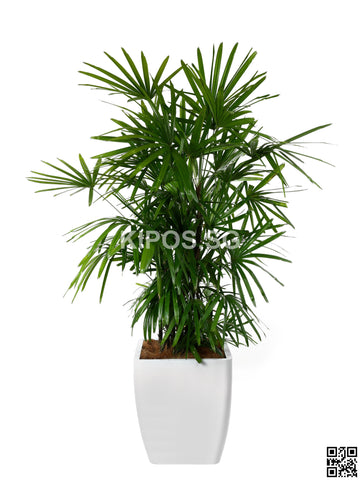 Rhapis Excelsa in Square Planter