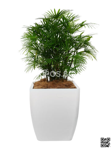 Rhapis Multifida in Square Planter