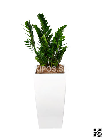 Zamioculcas Zamiifolia in Vertical Planter (Rental)