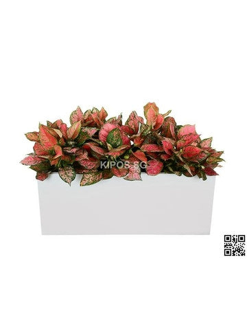 Aglaonema Pink in Rectangular Planter (Rental)