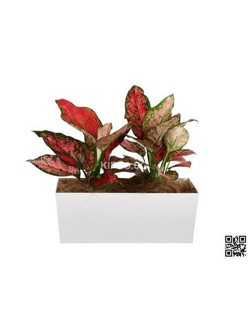 Aglaonema Pink in Tabletop Rectangular Planter (Rental)