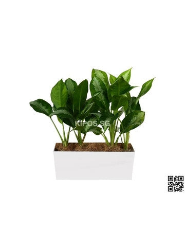 Aglaonema 'Ernesto's Favorite' in Tabletop Rectangular Planter (Rental)