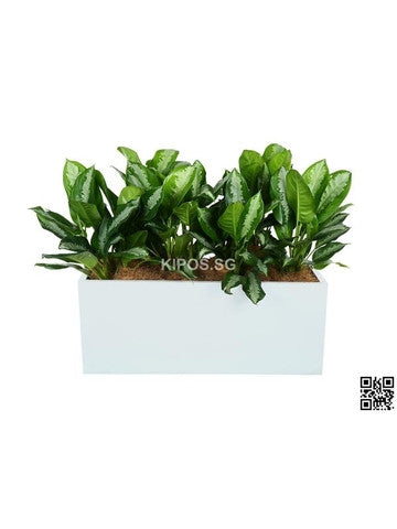 Aglaonema 'Ernesto's Favorite' in Rectangular Planter (Rental)