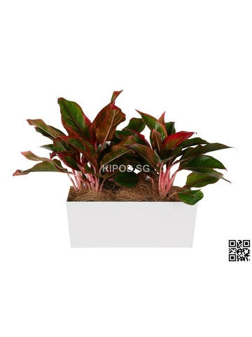 Aglaonema Red in Tabletop Rectangular Planter (Rental)