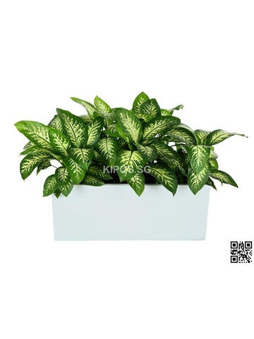Dieffenbachia 'Tropical Snow' in Rectangular Planter (Rental)