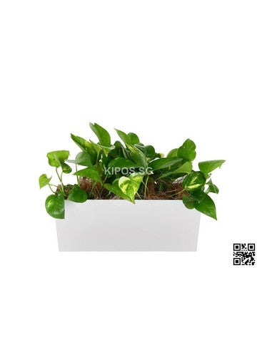 Epipremnum aureum in Tabletop Rectangular Planter (Rental)