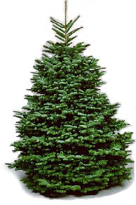 Real Nobel Fir Christmas Tree