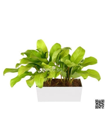 Philodendron Erubescens Gold in Tabletop Rectangular Planter (Rental)