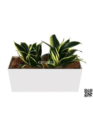 Sansevieria Trifasciata in Tabletop Rectangular Planter