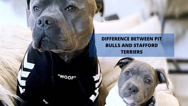 Difference Between Pit bulls and Stafford Terriers