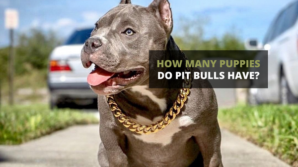 How Many Puppies Do Pit Bulls Have?