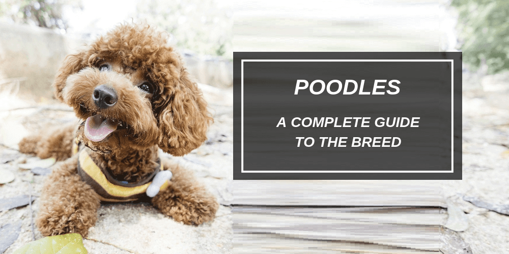 Poodles A Complete Guide To The Breed Spark Paws