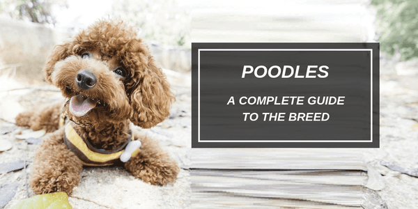 icon dogwear, poodles, everything you need to know about poodles, interesting facts about poodles, history of poodles