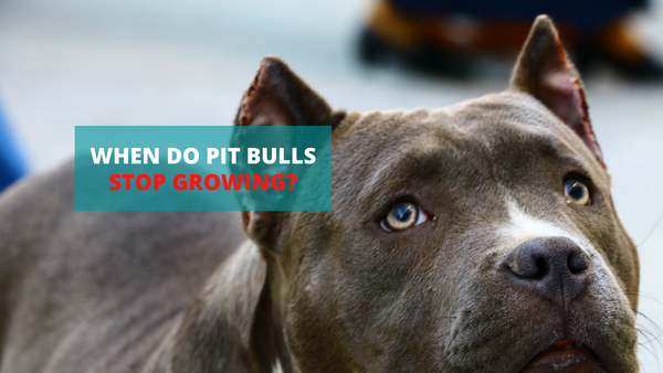 When Do Pit Bulls Stop Growing?