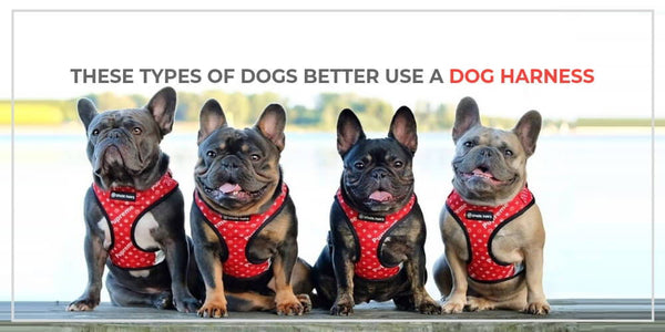 If Your Pup Is One Of These, You Better Use a Dog Harness.