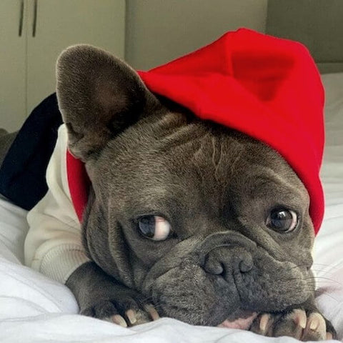 Maxi the Grey Frenchie snuggled up in bed in her Red, White, and Navy Dog Hoodie