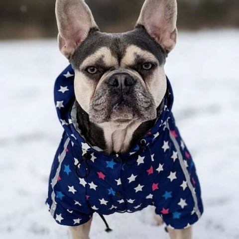 Hugo the Frenchie wearing the Star Print Reflective Dog Windbreaker to cope with the snow