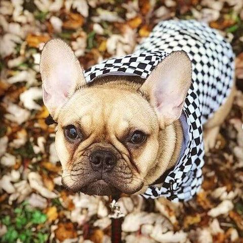 Rico the Frenchie wearing the Checkered Flag Dog Windbreaker during the fall shedding season