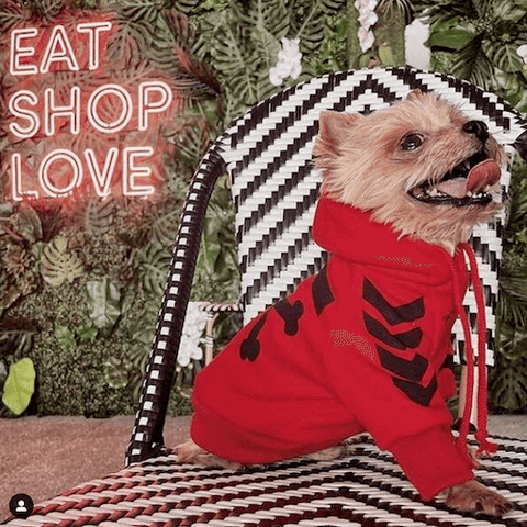 Archer the Yorkie getting used to joining his humans for brunch while wearing the WOOF Dog Hoodie in Red.