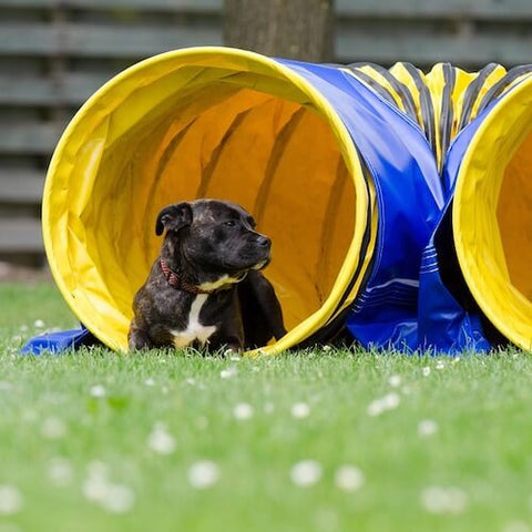 A pitbull resting in his very own agility tunnel. (Source)