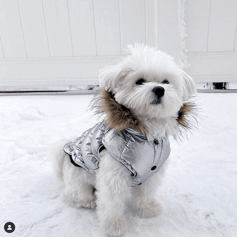 A newly-groomed Shiro the Maltese enjoying the snow while wearing the Ultra Down Puffer Jacket in Silver.