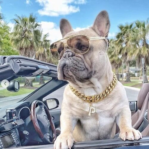 Pepsi the Frenchie wearing a Cuban Link Dog Collar and a Jewelry Tag