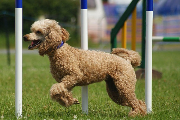 Poodle Exercise Requirements