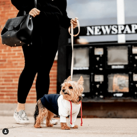 Benny the Yorkie exploring the world with his human while wearing the Red, White, Navy Dog Hoodie.