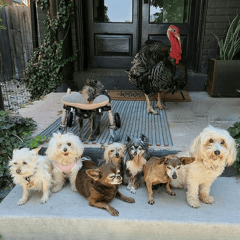 The wolfgang2242 gang of rescued senior animals has an Instagram audience of over a million followers.