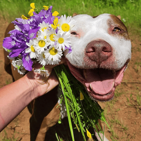 Casserole the rescued bully and her wonderfully sunny disposition.