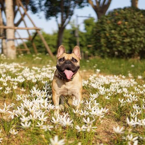 A fawn Frenchie enjoying a patch of flowers