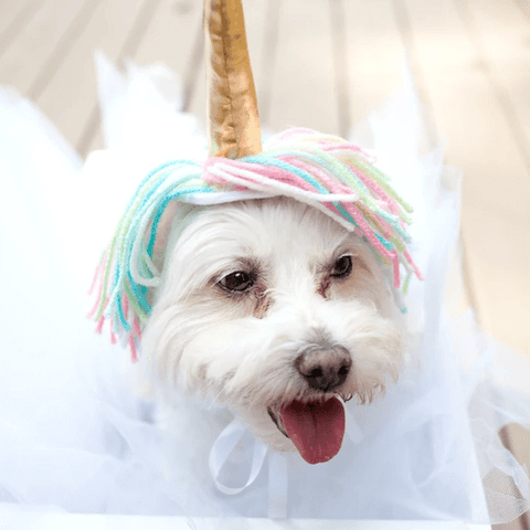 A fluffly white dog in whimsical unicorn outfit. (Source)