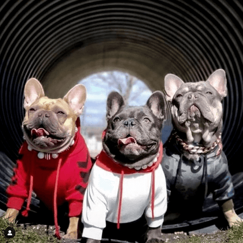 The Frenchie Doots wearing (Left) WOOF Dog Hoodie in Red, (Center) Red, White, Navy Dog Hoodie, (Right) Shark Monster Dog Hoodie in Green Camo.