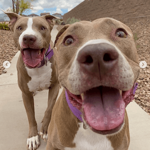 Knighty & Aston the rescued pitties that have tons of fun.