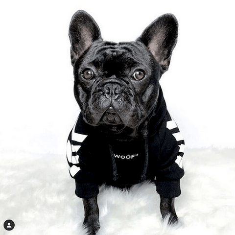 Ollie Bear the Frenchie ready to head out in a black WOOF Dog Hoodie
