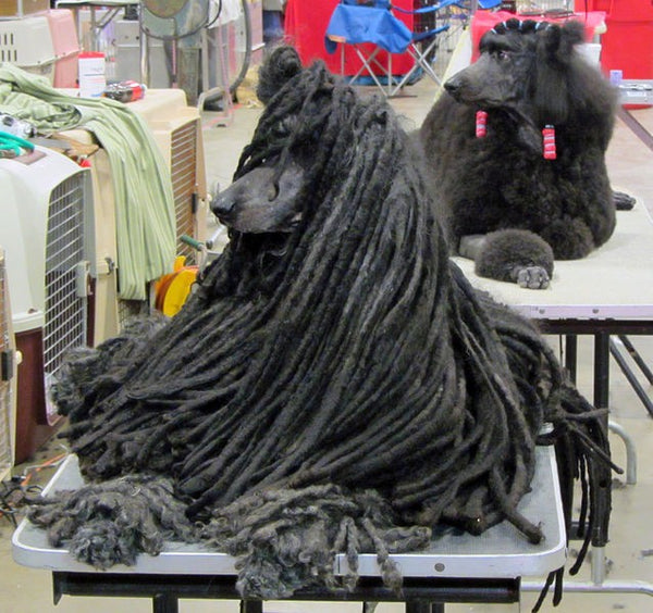 3. Poodle Coat Types