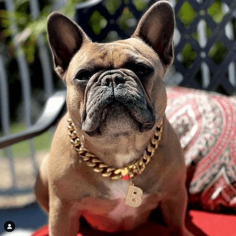 @bossybabythefrenchie wearing the luxury gold dog chain and jewelry dog tag.