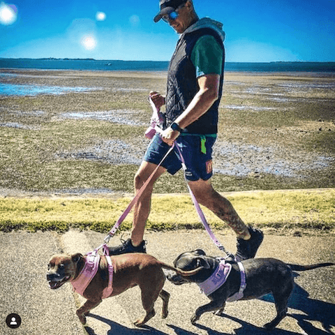 Roxy & Stella the Staffies wearing the Athleisure Harness Set in Pink and Lilac.