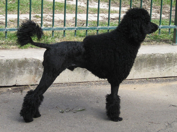Poodle Coat Types and Colors