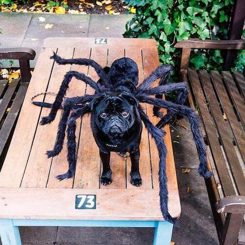 A black pug looking terrifying yet irresistibly cute as a giant spider. (Source)