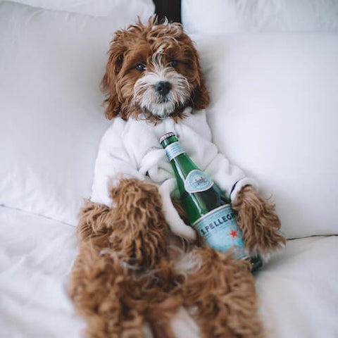 A pampered poodle mix relaxing after a luxurious spa day. (Source)