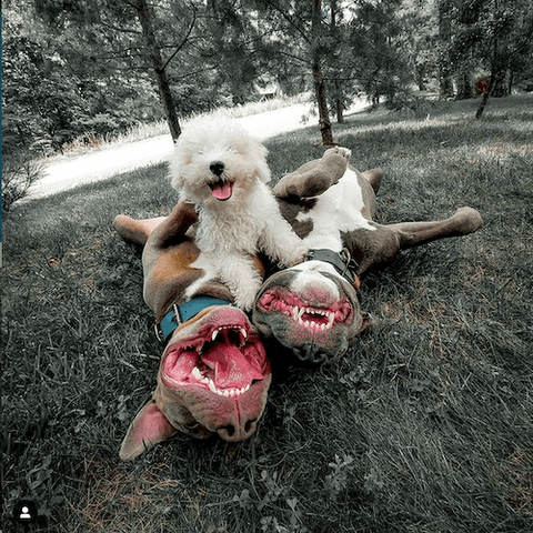 Rescued bullies Diesel & Reggie having a grand time with their adorable friend.