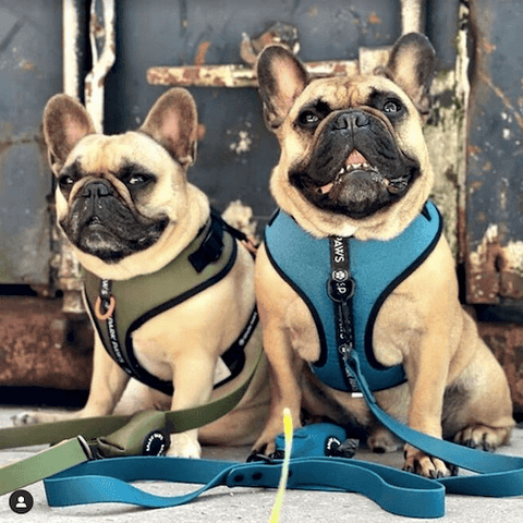 Frenchies @moppie_and_chef out and about with the Athleisure Harness Set in Green and Blue