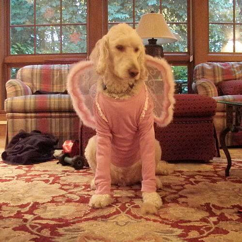 A standard poodle looking like a magical princess in her fairy costume. (Source)