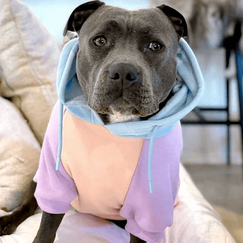 Joey the Staffy looking irresistible in a Cotton Candy Dog Hoodie