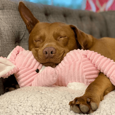Tatum the rescued bully is perfectly healthy, calm, and content.
