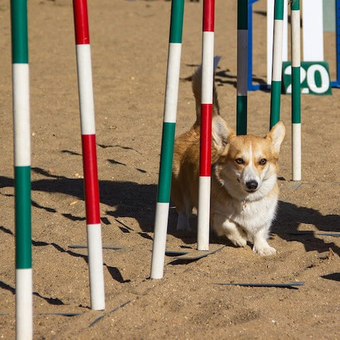 A Pembroke Welsh Corgi dominating the weave poles at an agility course. (Source)