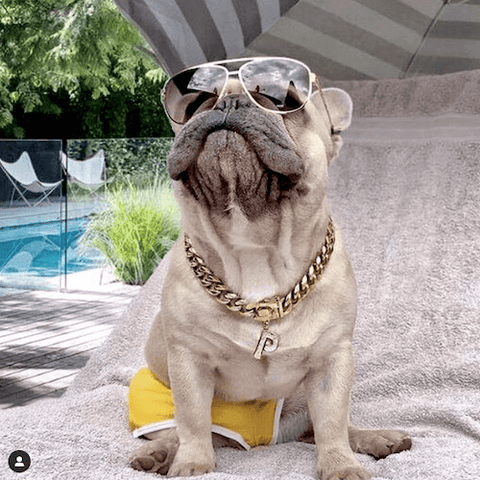 All Pepsi the Frenchie needed was a pair of board shorts, spiffy sunglasses, and blinged-out gold dog jewelry to look like a celebrity on vacation.