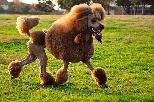 Grooming Poodles, how to maintain their Coat