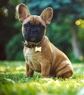 icon dogwear, frenchies, french bulldogs, interesting facts about frenchies, frenchie puppy